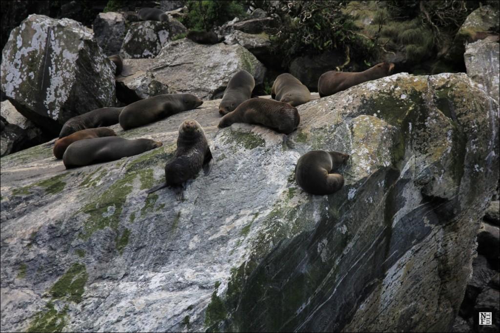 Fur seals in Milford Sound