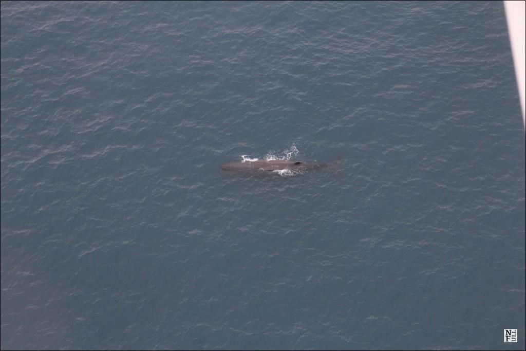 18m male sperm whale