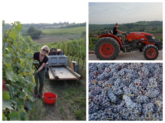 Harvesting grapes at Alta Vita Winery in Cesena, Italy