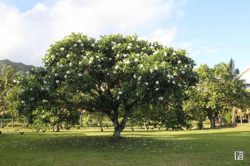 Gardenia tree, Rarotonga, Cook Islands