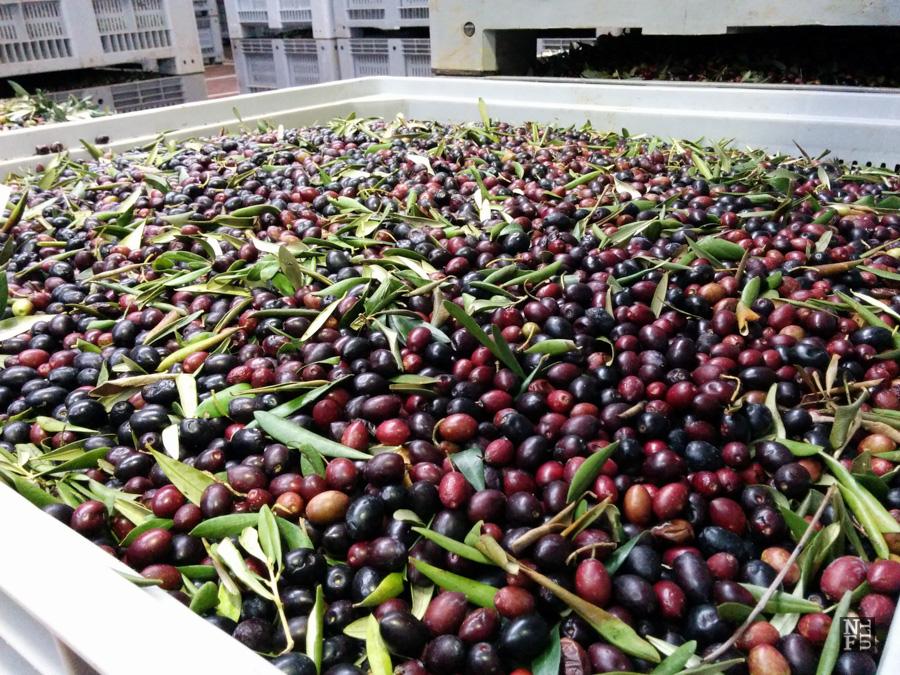 Olives harvest, Puglia, Italy