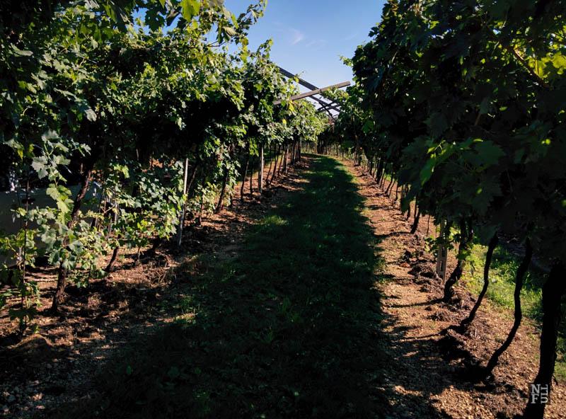 A vineyard, Valpolicella, Italy